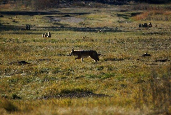 Custer State Park: coyote trotting thru prairie dog town