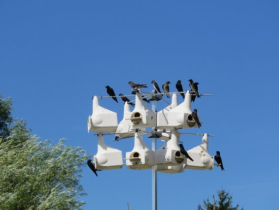 Orrtanna, PA: Purple Martin colonies provide natural insect control.