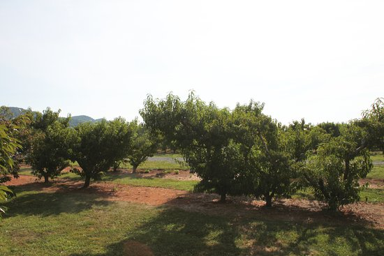 Crozet, Βιρτζίνια: Rows and Rows of Healthy Young Trees