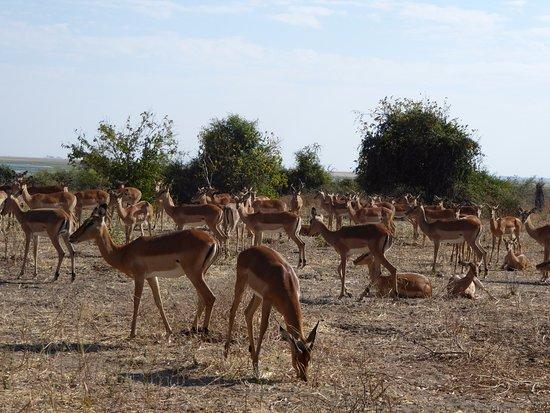 Chobe National Park, Botswana: Large herd of Impala