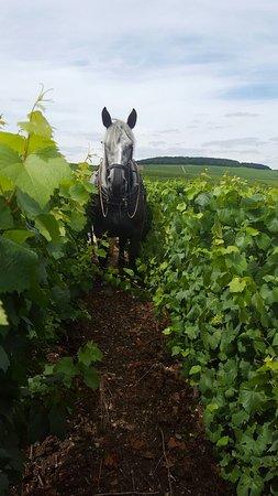 Avize, Francja: Travail du sol avec des chevaux