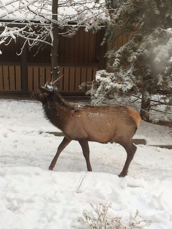 Hidden Ridge Resort: Elk Visitors