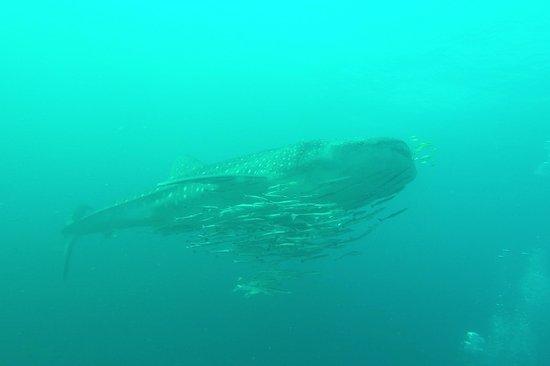 Vitória, Ilhas Seychelles: Whaleshark, der große!
