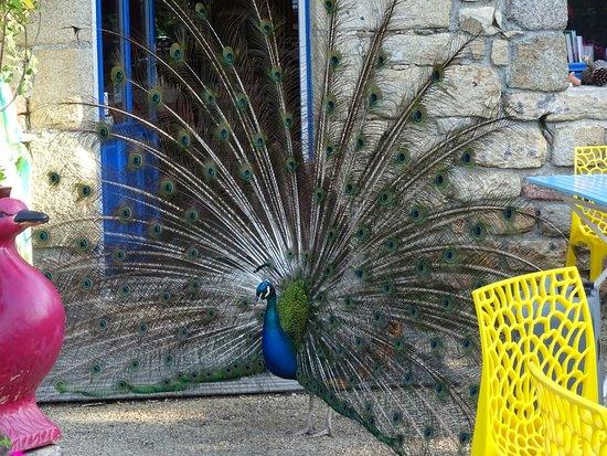 Auberge de Bel Air : The resident peacock (better than an alarm clock)