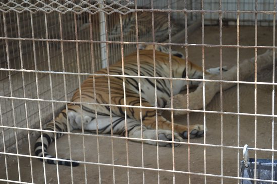 Wynnewood, OK: Tiger