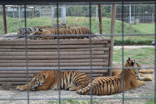 Wynnewood, OK: Tigers