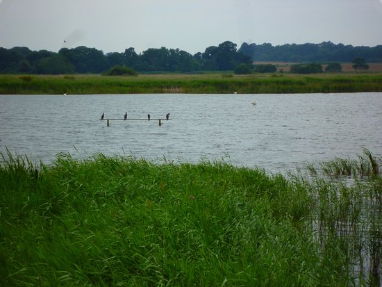 Westleton, UK: A view from a hide of Cormorants