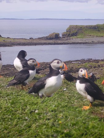 Dervaig, UK: Puffins on Lunga