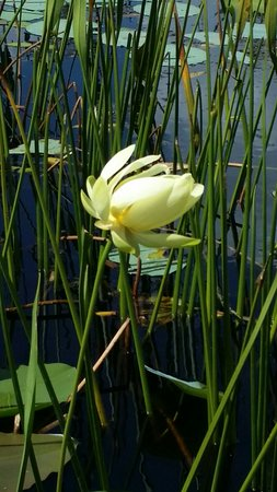 Spirit of the Swamp Airboat Tours: Had the best time today. Saw some lotus flowers and gators!