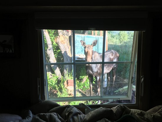 Teton View Bed & Breakfast: Mama moose outside our window in the early morning.