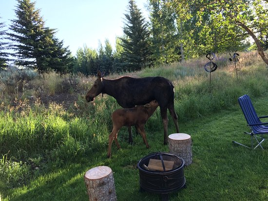 Teton View Bed & Breakfast: Mama moose nursing her baby.