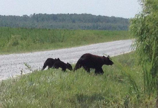 Kill Devil Hills, Carolina del Norte: The bears we saw as we left the kayaking