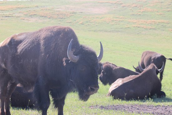 Buffalo (Bison) in Big Horn National Forest