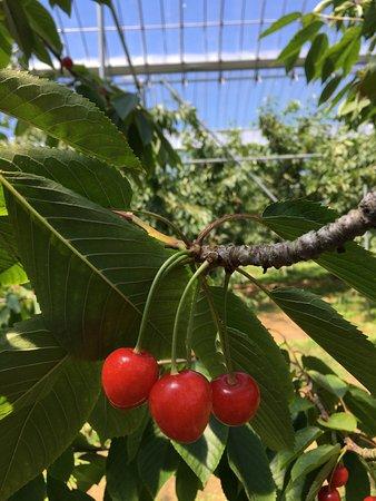 Sobetsu-cho, Japón: Fresh Cherries - Ripe for Picking