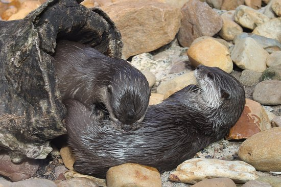 Dubbo, Australia: Otters have a rumble