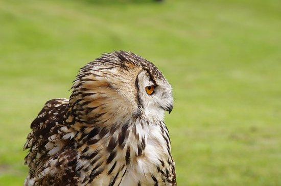 Leyburn, UK: falconry