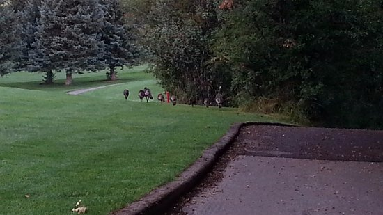Wasatch Mountains: Wild Turkeys on the Wasatch Mountain Golf Course, Midway, UT