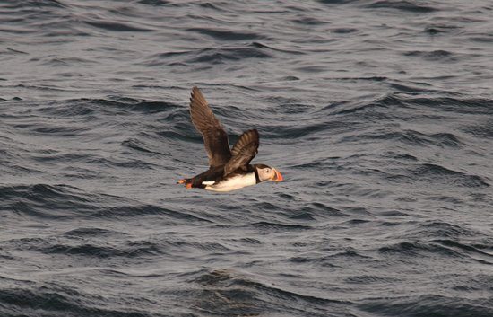 New Harbor, ME: The flight of the puffin