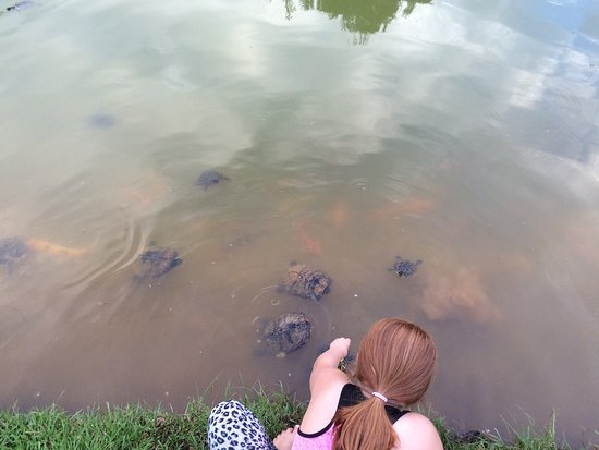 Dothan, AL: Hungry turtles and koi