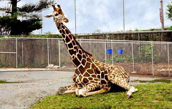 Norristown, PA: Giraffe at the Elmwood Park Zoo