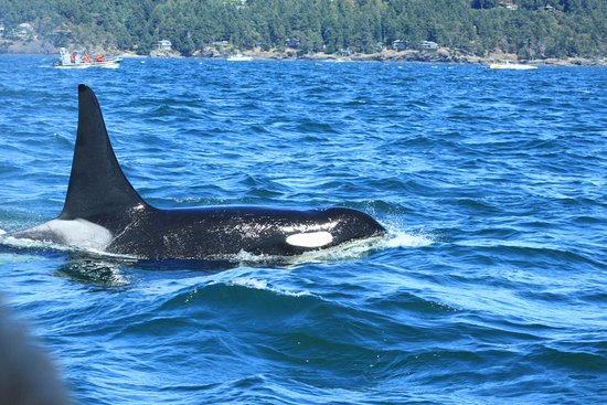 San Juan Islands, WA: He came within feet of the boat!
