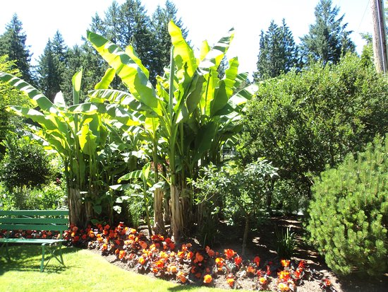 Very big southeast asian banana trees Picture of The Butchart