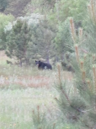 Allenspark, CO: Black bear in the meadow