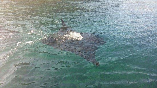 Waya Island, Fiji: Manta Ray
