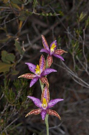 Río Margaret, Australia: Elusive Queen of Sheeba sun orchid