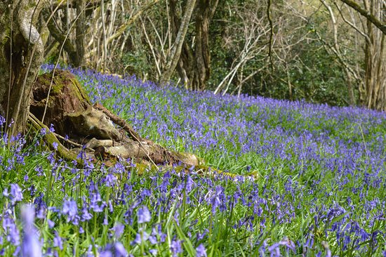 Charmouth, UK: bluebell wood at hogchester in spring
