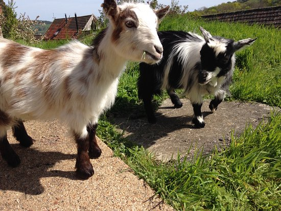 Charmouth, UK: pygmy goats