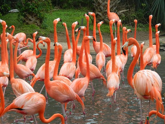 Hamilton, Islas Bermudas: Flamingo's at the Zoo