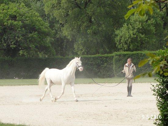 Λίπιτσα, Σλοβενία: One of the horses being worked