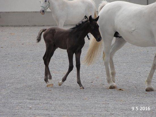 Λίπιτσα, Σλοβενία: One of the young foals