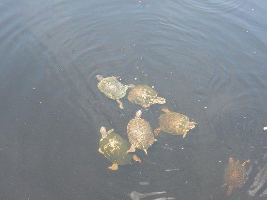 Sheraton Vistana Resort - Lake Buena Vista : Just a few turltes