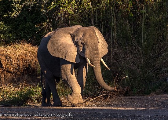 Selous Game Reserve, Tanzania: A Bull Elephant in a dry river bed