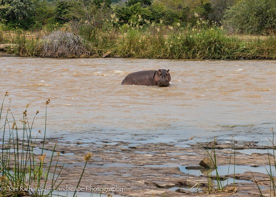Selous Game Reserve, Τανζανία: Hippo taken from our Lodge