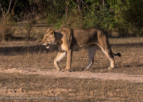 Selous Game Reserve, Τανζανία: Hunting Female Lion