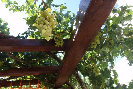 Pension Sofia: Grapes hanging over one of the sitting areas in the garden