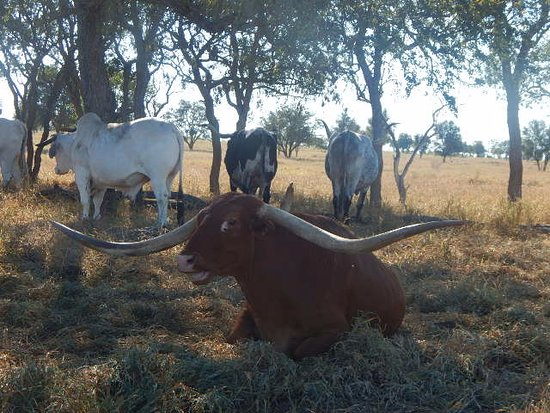 Charters Towers, Australia: JR, This boy has an amazing set of horns and is their main attraction