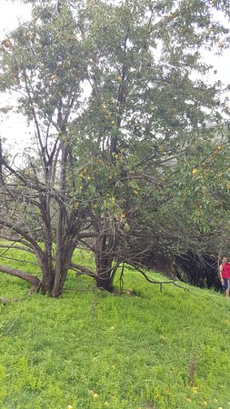 Tsehlanyane National Park, Lesotho: Wild Peach Tree we discovered on the Hike activity, its safe to eat and was delicious.