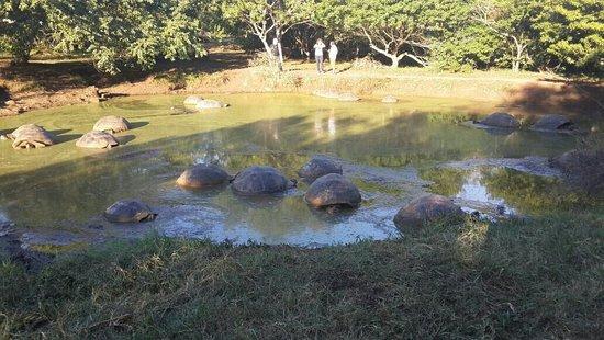سانتا كروز, الإكوادور: Rancho Primicias un lugar para la observacion de Galapagos gigantes...