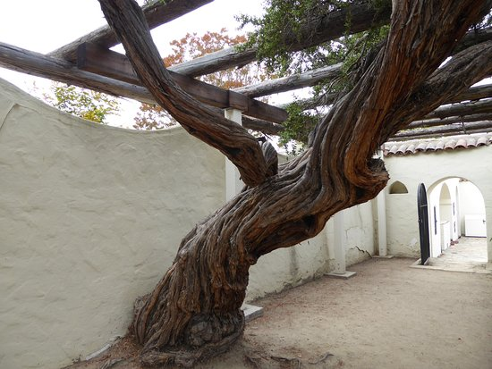 Monterey State Historic Park : Old tree with character in the park's garden