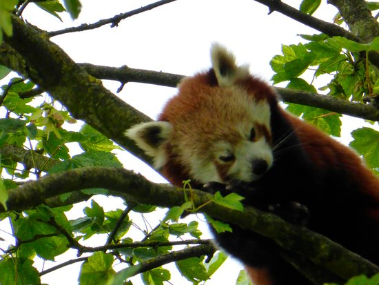 Burford, UK: Red panda