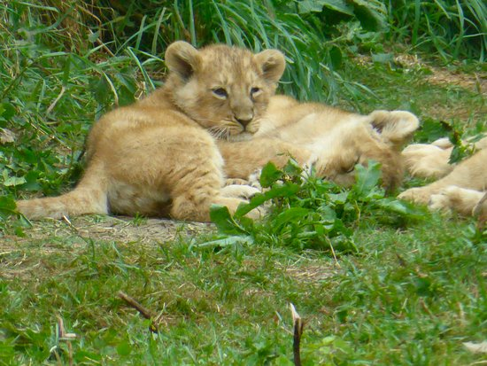 Burford, UK: Lion cubs