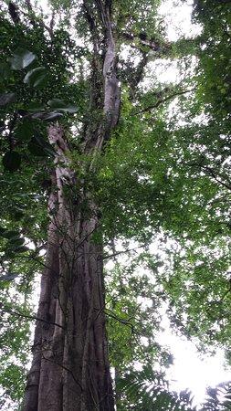 Bajos del Toro, Costa Rica: Majesutosidad de algunas especies en zona de bosque primario