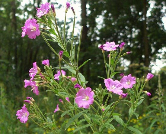 Alcester, UK: Wild Flowers