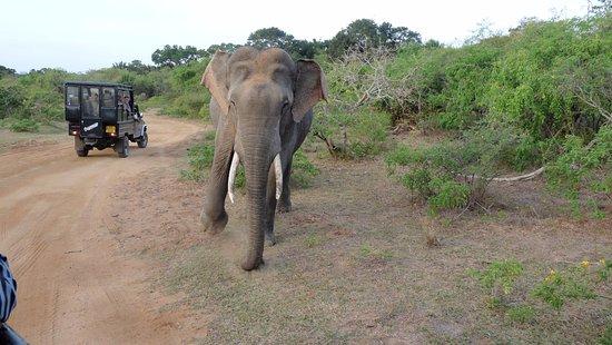 Kalutara, Sri Lanka: Tusker says time to move - Yala