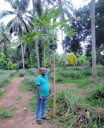Kalutara, Sri Lanka: Priyantha of Select at Pineapple plantation