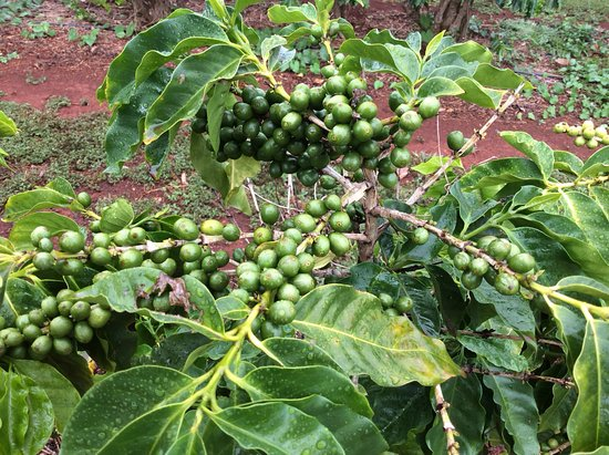 Kalaheo, HI: Coffee cherries or berries growing on a coffee plant.